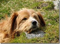 Alpe-Maccagno-Hund